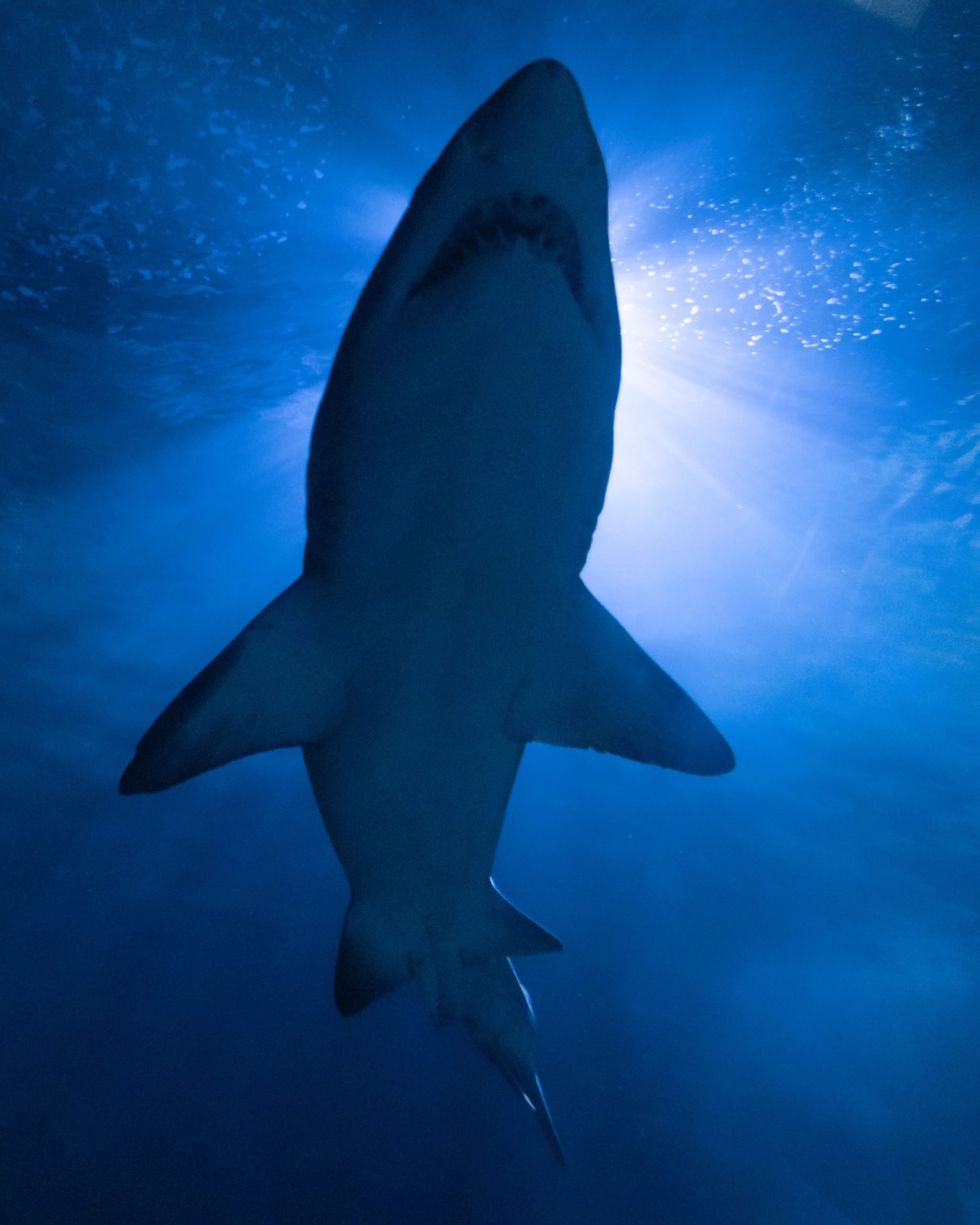 Major decline in ocean sharks, rays